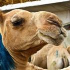 Comment vendre des chameaux en Afrique du Nord