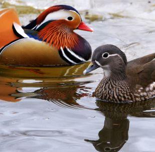 Les canards mandarins menacés de disparition ont regagné l'Extrême-Orient russe